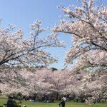 大阪でお花見BBQするなら大泉緑地公園『さくら広場』